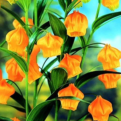 Qulista Samenhaus - 50pcs China Winterharte stehende Fuchsie 'Gelb Sarah' Blumensamen mehrjährig, geeignet für Garten & Terrasse