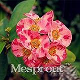 Go Garden 100 Pz Rara Euphorbia Milii Pianta Ibrida Bonsai In Vaso Bonsai Piante Euphorbia Milii Fiore Per La Casa Giardino Perenne Bonsai: 12