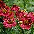 lichtnelke - Sonnenbraut (Helenium aut. ' Helena Rot ') Tb9 von Lichtnelke Pflanzenversand auf Du und dein Garten