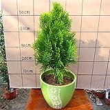Pinkdose Heiße verkaufen50pcs Zypressen Platycladus orientalis orientalische Thuja Conifer DIY Hausgarten geben Verschiffen frei