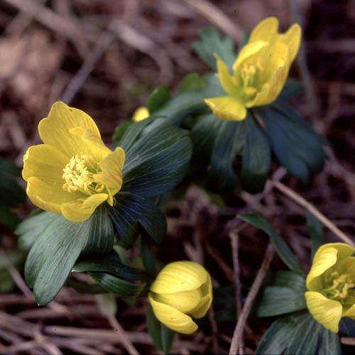 Plant World Seeds - Eranthis Hyemalis Seeds