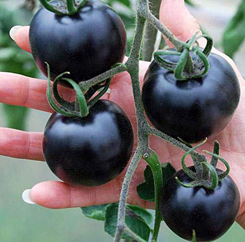 Tomate Cherry Sun Gold (Orange) 5 g winzige kleine süße gelbe Kirsche Tomate Bio Nicht-GMO Obst Gemüse Garten Samen zum Pflanzen schmackhaft Ideal für Salate Saft - Large Black Tomato Seeds