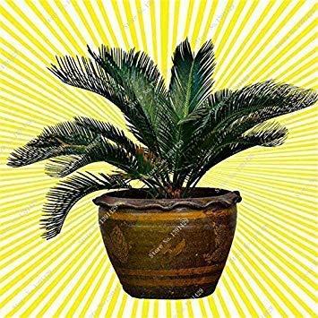VISTARIC 15: 30 Pcs Redwood Coast Seeds Sequoia sempervirens Bonsaï Plantes en pot Maison et Jardin Air frais Le jardin 15 Diy