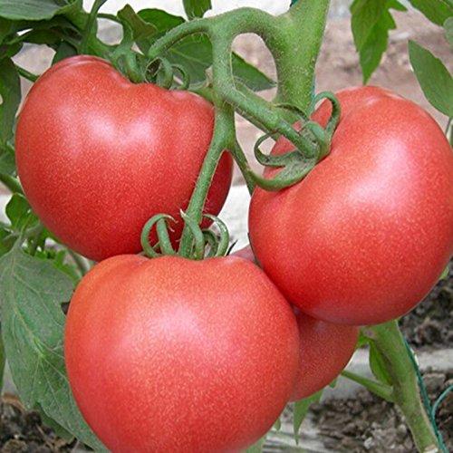 2016 Promotion Neue Outdoor-Pflanzen Garten Tomatensamen Mini Topf Bonsai Balkon Obst Gemüse Samen 100pcs