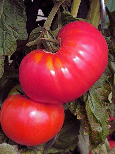 Tomate 'Berner Rose' (Solanum lycopersicum) Bio 20 Samen alte Sorte Rose Tomate