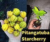 PLAT FIRM GERMINATIONSAMEN: Starcherry (Pitangatuba) Eugenia Selloi (neonitida) kleine Pflanzen RARE FRUIT TREE
