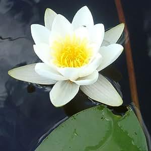 Paquet 10 Graines Nymphaea Ampla (Lotus blanc)