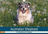 Australian Shepherd 2018 (Wandkalender 2018 DIN A4 quer): Faszinierende und liebenswerte Wegbegleiter (Monatskalender, 14 Seiten ) (CALVENDO Tiere) ... 09, 2014] Mirsberger www.tierpfoto.de, Annett