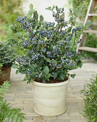 blueberry-collection-with-3-varieties-in-9cm-pot