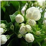 20seeds/Tasche Jasmin Samen Indoor Pflanzen mehrjährig Blumensamen