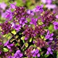 Thymian, kräftiges pink, Thymus serpyllum 'Coccineus' von VDG-Stauden - Du und dein Garten
