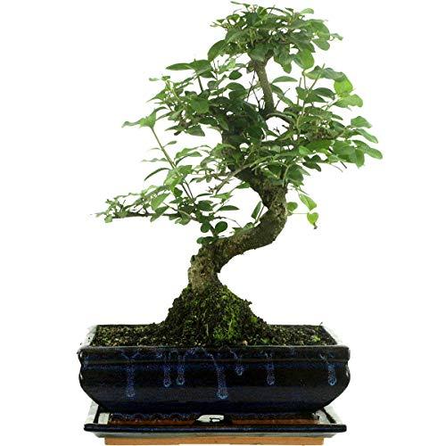 bonsai intérieur