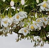 Portal Cool 3 Seeds Of Styrax Officinalis Giappone (Styrax japonica) G726 Semi Samen Semi Semillas