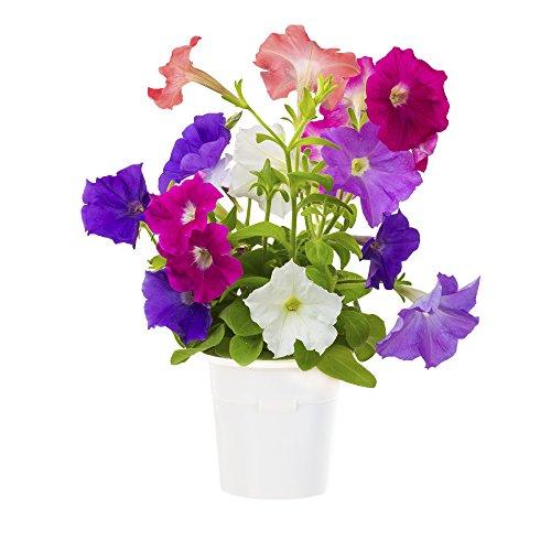 Click & Grow Petunia Refill 3-Pack for Smart Herb Garden
