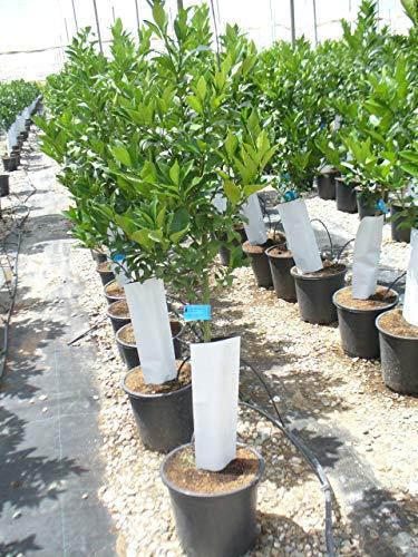 Zitronenbaum/Citrus eureka Baum mit dickem Stamm gesm. ca. 150 cm