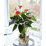 ANTHURIUM RED COLOR LIVE PLANT WITH GLASS POT PERFECT TABLE TOP PLANT