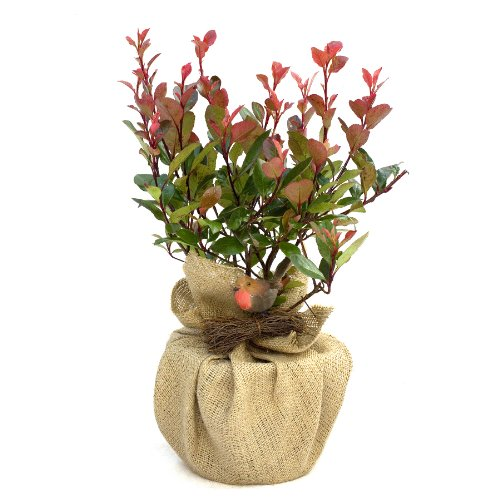 photinia-little-red-robin-superb-mothers-day-plant-gift-gift-for-family-and-friends-for-all-occassio