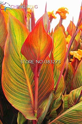 Galleria fotografica SwansGreen Blu: 10 pezzi Canna Semi Beautiful Flower Seed Mix Indica Lily piante da giardino Bulbi Fiori all'aperto in vaso bonsai Flores regalo a casa