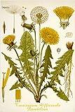Pissenlit Fleur Classique Poster Scientific Botanique Rare Top Notch 24x 36