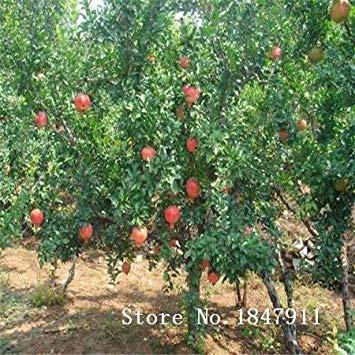 seedsown Big Sale Bestnote 9 Art 30 Mix Granatapfelkerne Staudenfruchtsamen für Gärten In Bonsai, Kauf 2 Geschenk Rose Blumen -