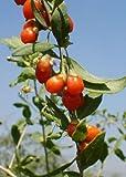 TROPICA - Bayas de Goji (Lycium barbarum syn. chinensis) - 200 semillas- Cultivos