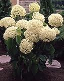 Ball-Hortensie Annabelle® weiß blühend. 3Sträucher - zu dem Artikel bekommen Sie gratis ein Paar Handschuhe für die Gartenarbeit dazu