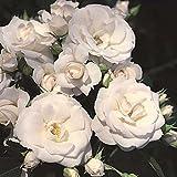 'Aspirin-Rose' -R-, Rosen-Halbstamm in A-Qualität Wurzelware, ADR-Rose