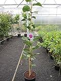 Magnolia Black Tulip - Tulpenbaum Black Tulip - Magnolienbaum - Heilpflanze - Besonderheit - duftend