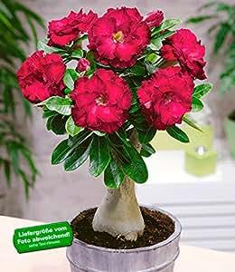 BALDUR-Garten Wüstenrosen gefüllt 'Bordeaux', 1 Pflanze, Adenium obesum