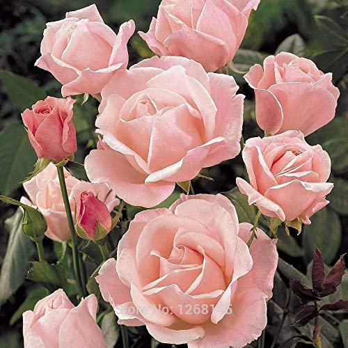 GEOPONICS 100 PC/Los Rose 'Queen Elizabeth' (Rose) Hardy Strauch Samen Bonsai Samen Hausgarten R03