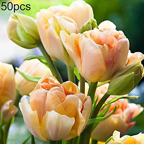 obiqngwi 50pcs semi di tulipano facile da coltivare giardino balcone bonsai profumo fiore pianta perenne champagne tulip seeds