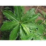 Insulin Plant Dibetic Costus Igneus Rare Specimen live plant