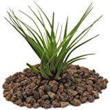 melanocrater Tillandsia Tricolor–verde–Loose–planta pequeña