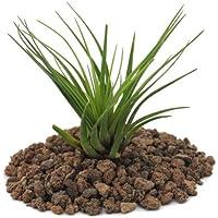 Planta pequeña Tillandsia Melanocrater Tricolor, color verde.