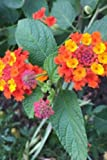 Lantana Camara Flowers for the Love of Gardening: Blank 150 Page Lined Journal for Your Thoughts, Ideas, and Inspiration
