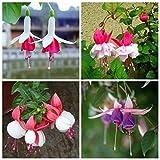 Green Seeds Co. 100 Stück Fuchsien Pflanzen Topf Blume Sementes