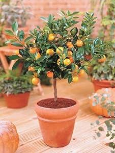 Zwerg Orangenbaum von Heim & Büro auf Du und dein Garten