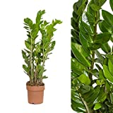Zamia Palma Zamioculcas zamiifolia 85cm