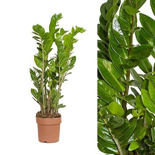 Zamia Palme Zamioculcas zamiifolia 85cm +/-
