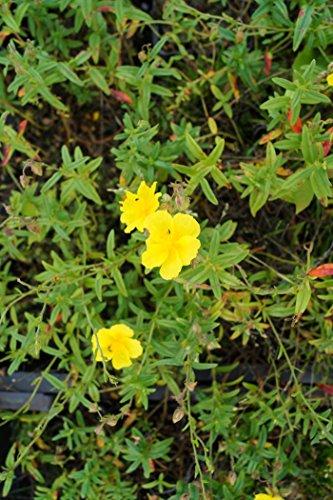 Garten-Sonnenröschen Gelbe Blüten
