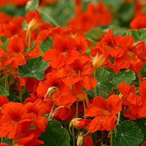 kings-seeds-nasturtium-orange-troika-30-seeds