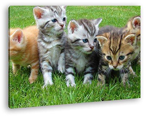 niedliche Katzenbabys auf der Wiese im Format: 80x60 als Leinwandbild, Motiv fertig gerahmt auf Echtholzrahmen, Hochwertiger Digitaldruck mit Rahmen, Kein Poster oder Plakat