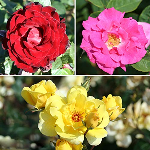 climbing-rose-bush-collection-in-3-varieties-bare-root
