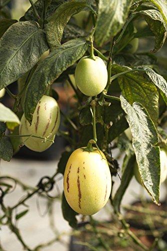 Birnenmelone (5 Samen)