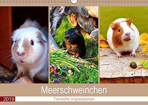 Meerschweinchen 2019. Tierische Impressionen (Wandkalender 2019 DIN A3 quer): 12 bezaubernde Bilder...