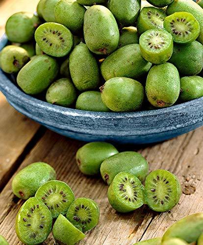 Keland Garten - 50pcs Selten Kiwi 'Issai' Grün/Rosa - Kletterpflanze Obstsamen Saatgu Bio Reich an Vitamin C! Baumsamen wintergart mehrjährig, geeignet für Garten/Balkon