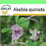 SAFLAX - Garden to Go - Akebia a cinque foglie - 10 semi - Akebia quinata