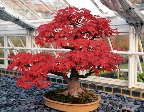 Plentree Acero Rosso Acer Rubrum Bonsai 25 Semi/Seeds