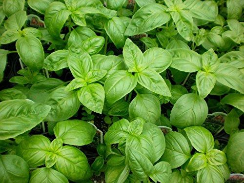 Graines basilic, Genovese, Heirloom herbes, Basilic, Graines en vrac, non-ogm, 500ct
