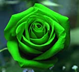 #6: M-Tech Gardens 1 Healthy Rare Live Plant Green Rose Plant In PolybagROSE101